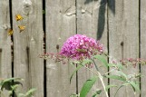 butterflybush1