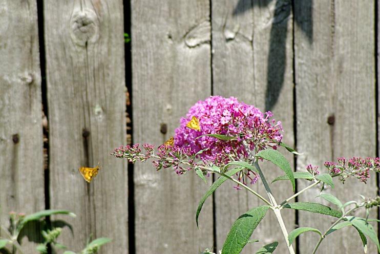 butterflybush2