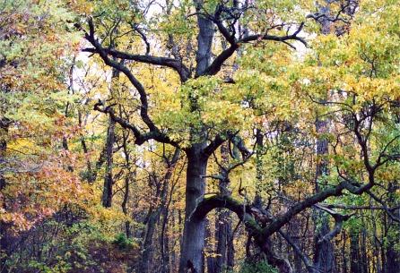 gnarlytree1