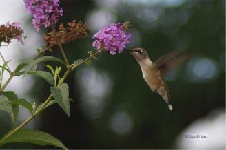 humbirdhummingbird4