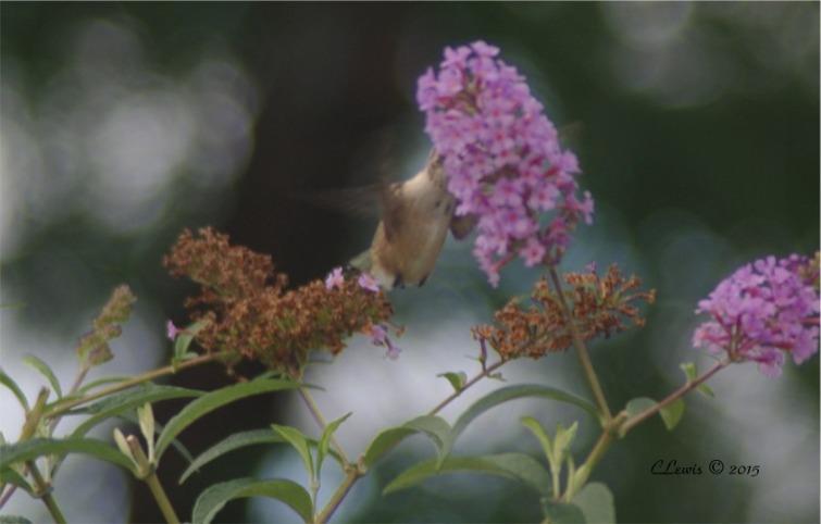 humbirdhummingbird5