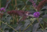 humbirdhummingbird7