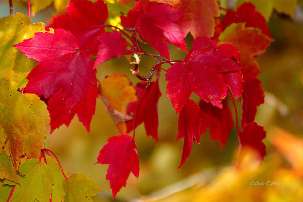 leaves-trustbrightredmapleleaves