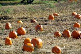 pumpkins-scarecrowsanotherautumn2010springflowers2009octoberstormdamage-117