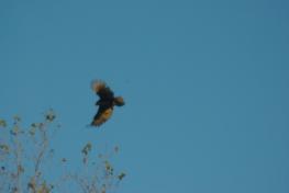 vulturehawks-010