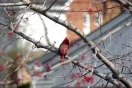 graceful2013maynaturecardinal