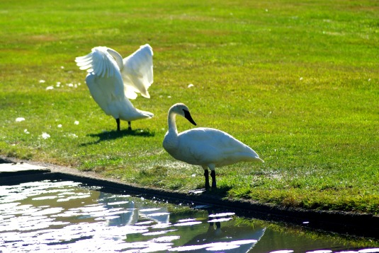 graceful2swans