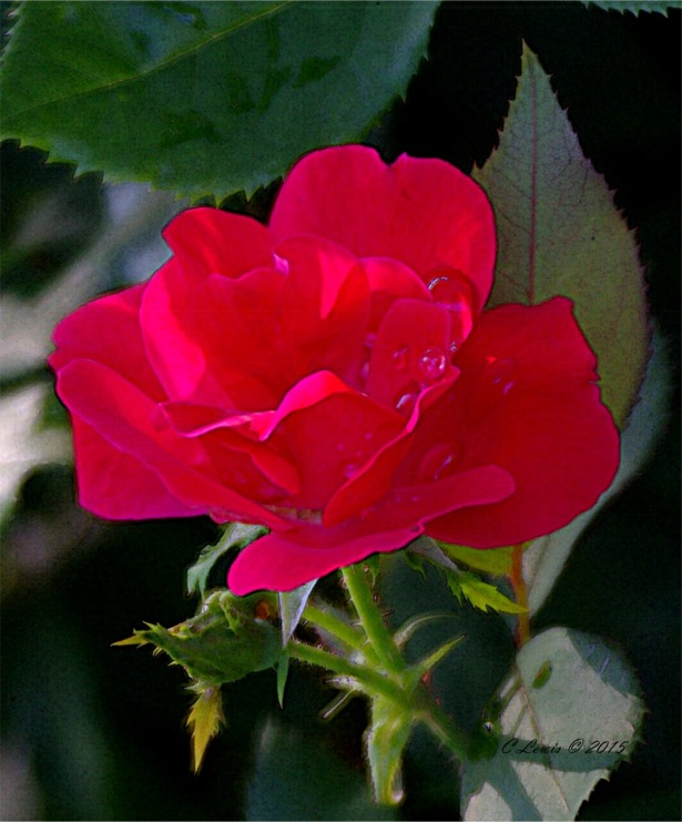 redrosesingle