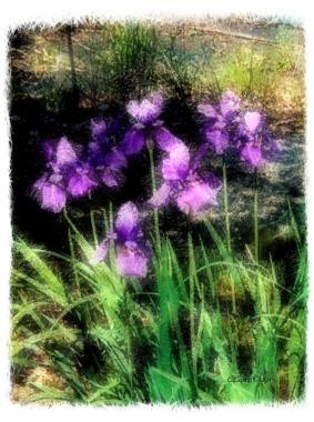 purplehazeiris