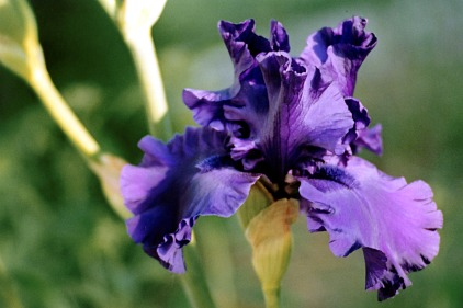 purpleirishead