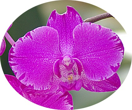 purpleorchidcircle