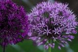 purplepurpleallium