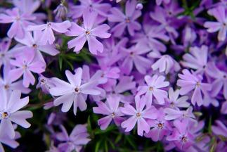 purplepurpleflowers