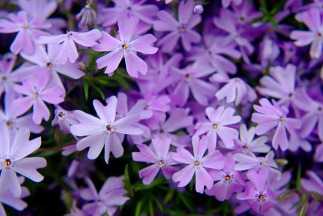 purplepurpleflowers