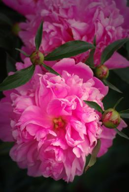 pink peonies light group