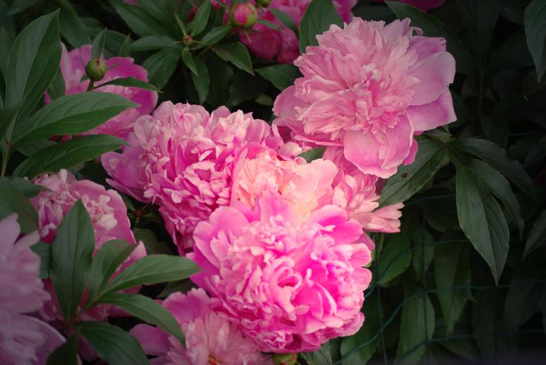 pink peonies light