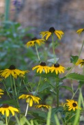 black eyed susans enhanced 2