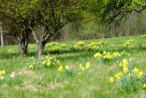daffodil field2013MayNature 024