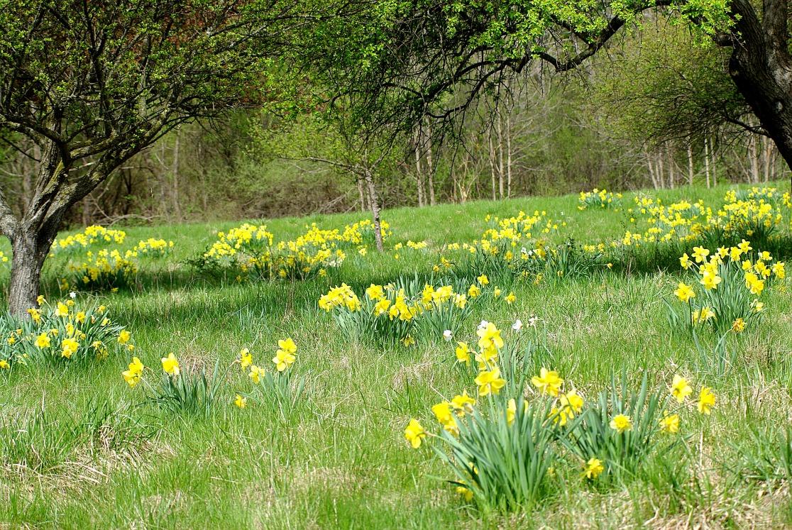 daffodil field2013MayNature 025