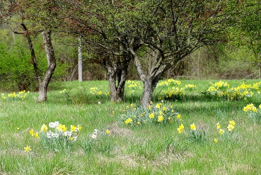 daffodil field2013MayNature 026