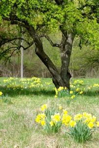 daffodil field2013MayNature 031