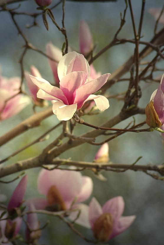 magnoliablsmslght
