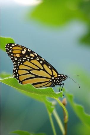 BFButterflies2014AugMonarchButterfly 012