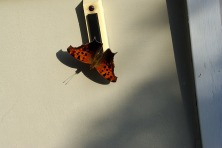 Not sure what tiny butterfly was sitting on my doorbell.