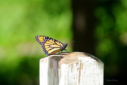 ButterfliesButterflyNorthvilleMillRaceVillage 012