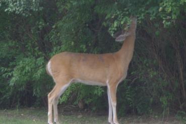 cheesecake deer birds 029
