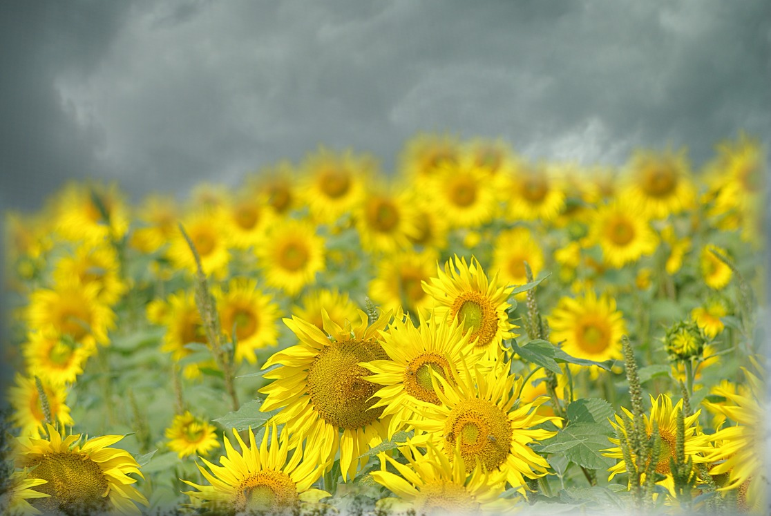 sunflowers and dark skies 3