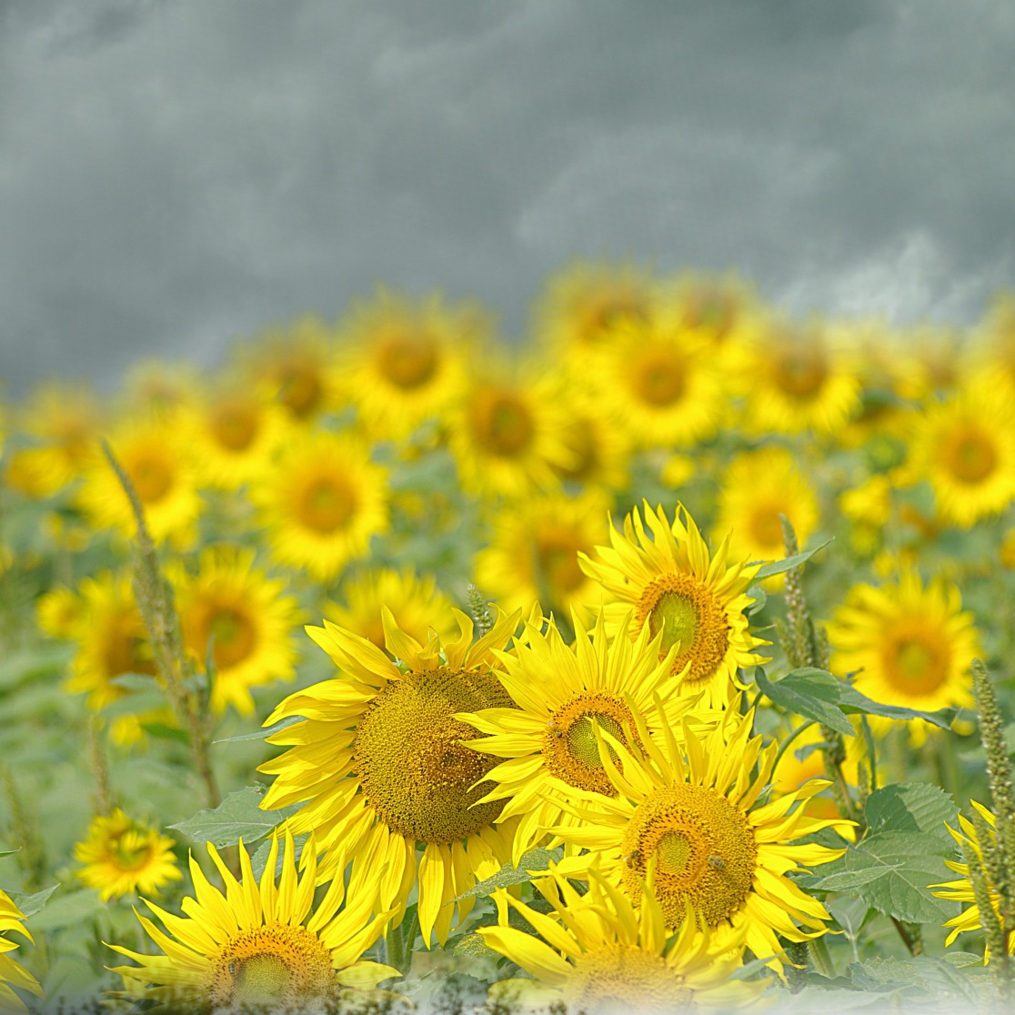 sunflowers and dark skies 3