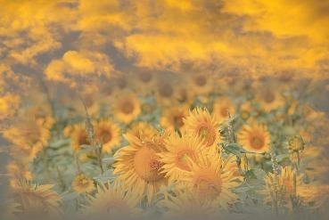 sunflowers sunset 2