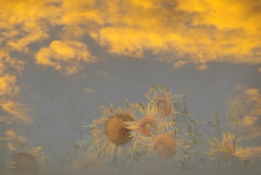 sunflowers sunset pencil sketch