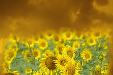sunflowers yellow sky 4