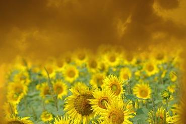 sunflowers yellow sky 4