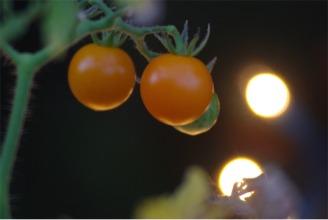 cherrytomatoesj