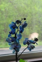 blue orchids 004