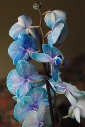 blue orchids 028