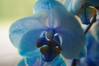 blue orchids 043