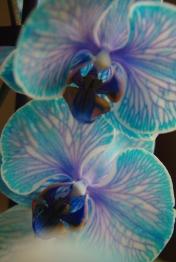 blue orchids 052