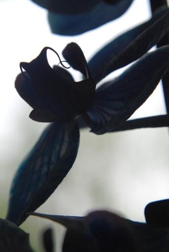 blue orchids 106