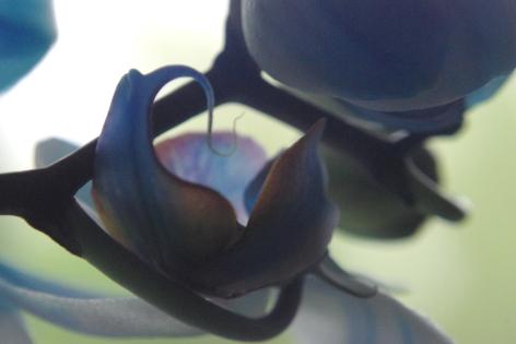 blue orchids 111