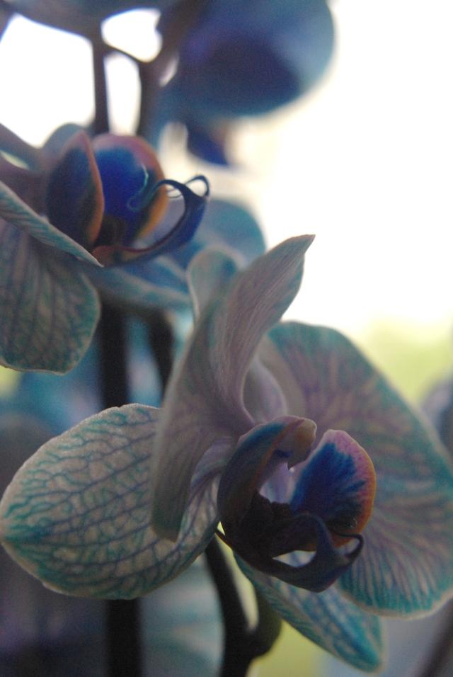 blue orchids 118