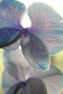 blue orchids 122