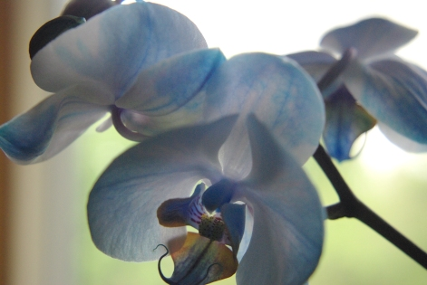 blue orchids 130