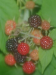 black raspberries soft focusPicture2