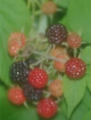 black raspberries soft focusPicture2