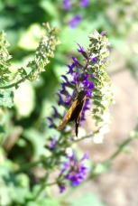 Brown Butterfly on purple salvia 3