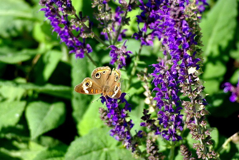 Brown Butterfly on purple salvia